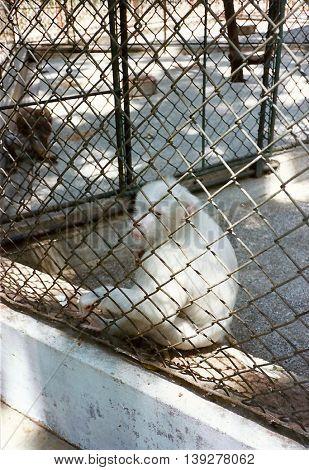 An albino baboon sits next to a chain link fence in the Rangoon Zoo in Rangoon, Burma (now called Myanmar), circa 1987.
