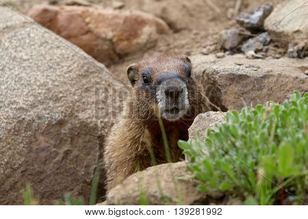 Marmot, the very popular animal up in the mountains in Durango, CO