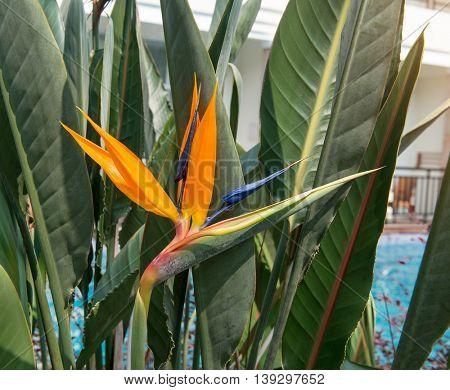 Flower Strelitzia reginae(bird of paradise, crane flower).