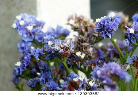 Blossom statice flowers, painted in blue color