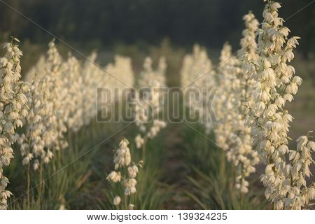 Yucca Filamentosa Is A Species Of Flowering Plant In The Family Asparagaceae. In The Soft Evening Li