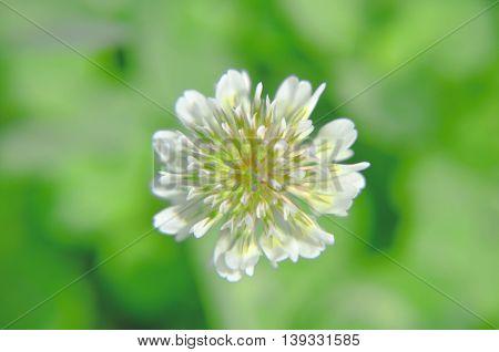 White Dutch Clover Trifolium Repens. Flower Of The .   L.