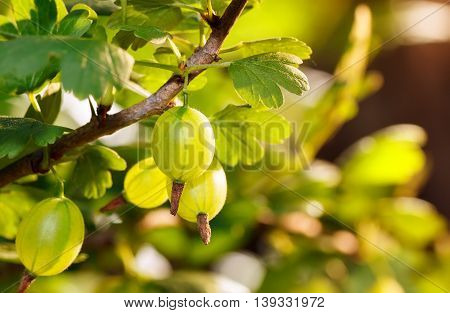Fresh green gooseberries on a branch of gooseberry bush with sunlight. Gooseberry in the fruit garden. Gooseberry. Fresh and ripe organic gooseberries growing in the garden