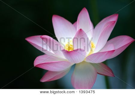 Lotus Flower Over Dark Background