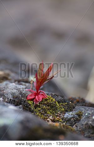 Single Red Plant Growing On Meager Stone