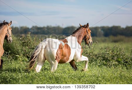 Horses in the summer pasture at hot summer day