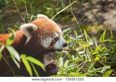 Hungy red panda eating bamboo, close up