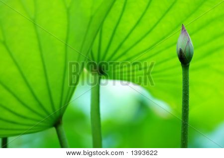 The Blossom Of Lotus And Leaves