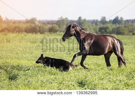 Horse and dog play on the summer meadow