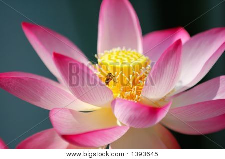 Blooming Lotus Flower And A Bee