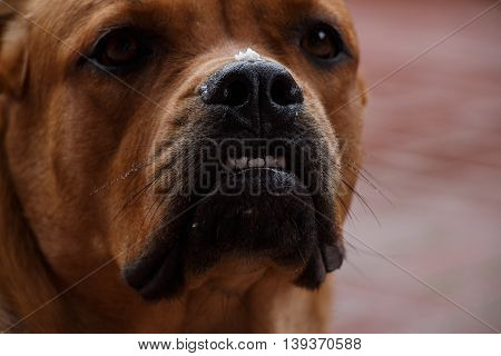 Closeup of serious purebred dog muzzle with pieces of food on the nose