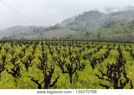 Rain and fog in a California vineyard with gnarly vines. Old zinfandel vines in Sonoma Valley on a dreary day.