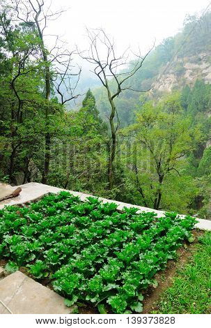 A leafy green vegetable garden on Mount Tai or Taishan near the city of Tai'an located in Shandong province China.