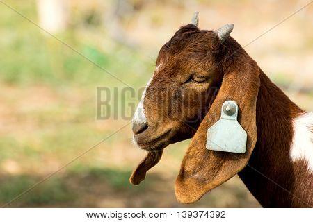 Closeup portrait of a goat in farm