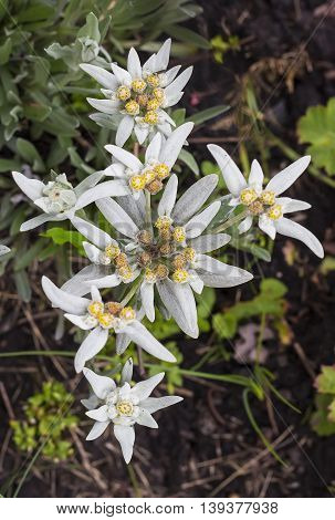 Edelweiss (lat. Leontopódium) genus of dicotyledonous herbaceous plants of the Aster family (Asteraceae). Plant in flowering period