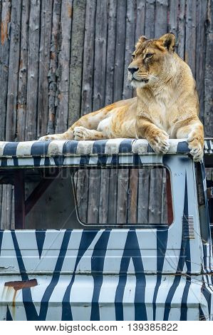Portrait Of Calm Lioness. Lioness Lying On Car At The Zoo..