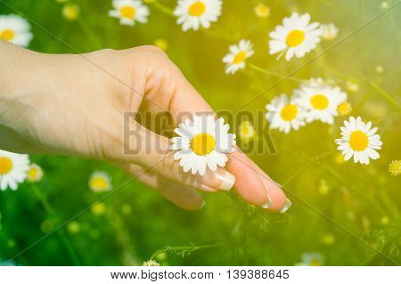 Close up of female hand picking up the chamomile flower on the meadow. Nature and summer season concepts.