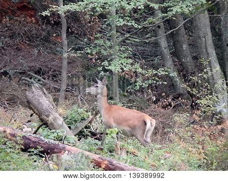 buckskin , deerskin  ,deer , wild buckskin