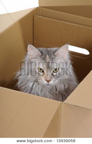 Silver cat in paper box. observer. poster