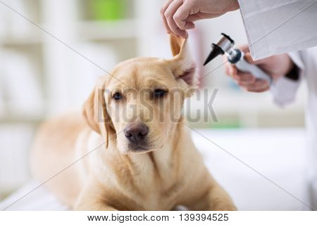 Hearing Checkup Of Labrador Dog In Vet