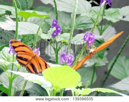 The Orange Tiger Butterfly on a flower in garden of Niagara Falls Ontario 16 July 2016 Canada