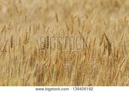 Golden field of wheat with ears full of grain in the summer on the farm