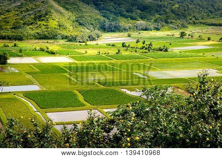 Landscape Detail Of Green Taro Fields In Hanalei Valley, Kauai