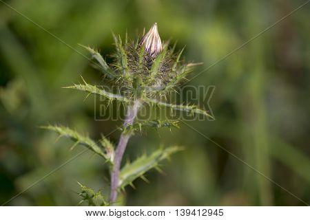 Carline Thistle (Carlina vulgaris) with one flower head