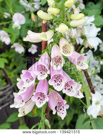 Foxgloves Digitalis Flower in the garden outdoor daylight