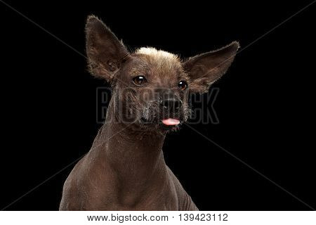 Funny Xoloitzcuintle - hairless mexican dog breed showing tongue, Closeup Studio portrait on Isolated Black background
