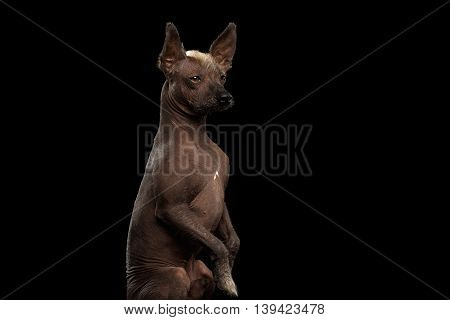 Closeup Xoloitzcuintle - hairless mexican dog breed Sitting on hind legs, Curious Looks, on Isolated Black background, Sad eyes