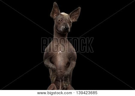 Closeup Xoloitzcuintle - hairless mexican dog breed Standing on hind legs, Curious Looks, on Isolated Black background, Sad eyes