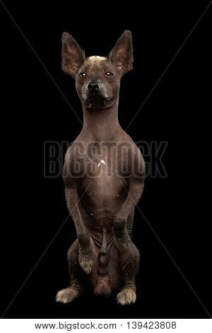 Xoloitzcuintle - hairless mexican dog breed Sitting on hind legs, Waiting Looks, on Isolated Black background