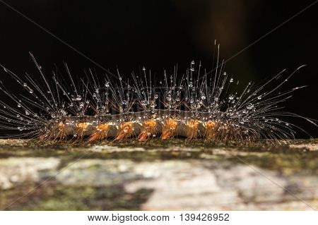 Caterpillar with water drop , Close-up of Caterpillar