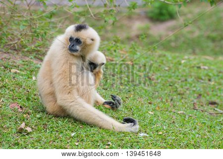 White Cheeked Gibbon With Baby Gibbons Sitting On Green Grass