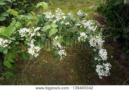 Bramble bush with flowers of blackberry. White flowers of dewberry.