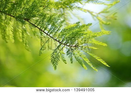 Detail of branch tree Bald Cypress (Taxodium distichum), Nature background.