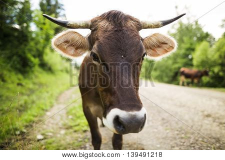 Brown Cow On The Country Road