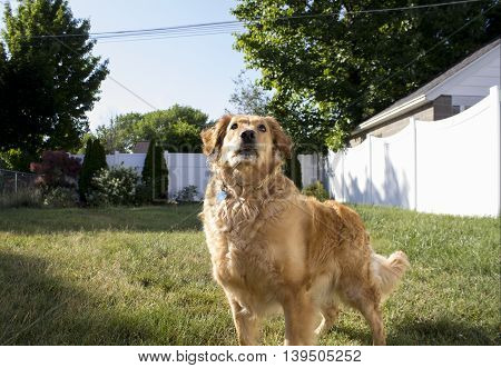 Golden Retriever looking up, centered and close up