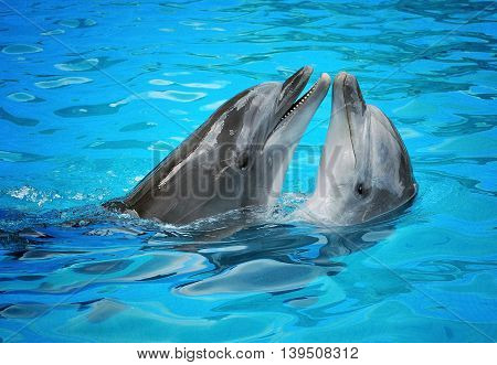 Two dolphins in pool in blue water