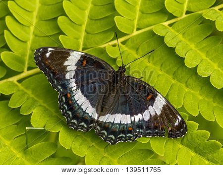 This beautiful White Admiral butterfly was found resting on a fern early one morning in a Wisconsin northwoods forest.