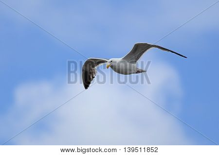 Seagull up in the sky above Westport Washington.