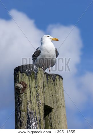 Seagull on post during sunny day at Westhaven Cove in Westport Washington.