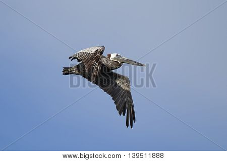 An eastern brown pelican Pelecanus occidentalis flying in the sky above Westhaven Cove in Westport Washington.
