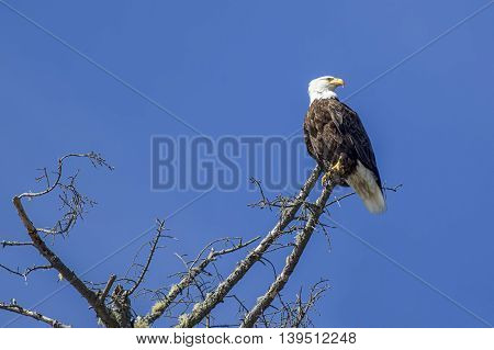 A bald eagle is perched in a barren tree in western Washington.