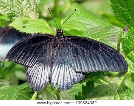 The black Great Mormon butterfly in garden of Niagara Falls Ontario 16 July 2016 Canada