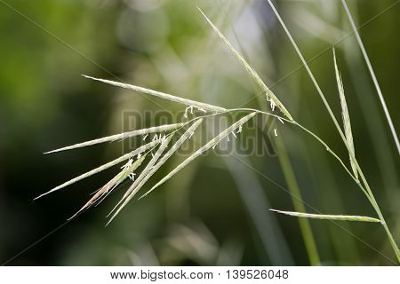 Hairy brome (Bromopsis ramosa) grass in flower. Loose nodding panicles of tall hairy grass in the family Poaceae