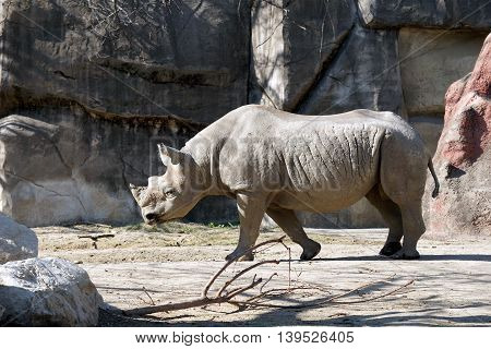 A black rhinoceros (Diceros bicornis) walks slowly to the left.