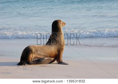 sea lion getting ready to jump in the ocean in Galapagos Islands