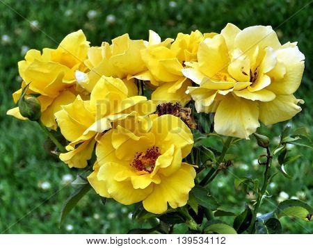 'Midas Touch' rose in garden of Niagara Falls Ontario 16 July 2016 Canada